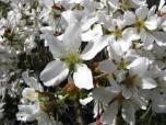 Cherry Blossoms - Closeup