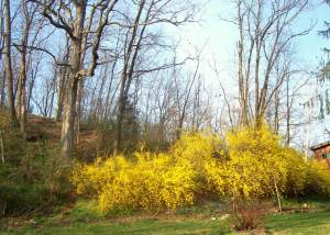 Forsythia flower garden at Colonial-era Brownstone